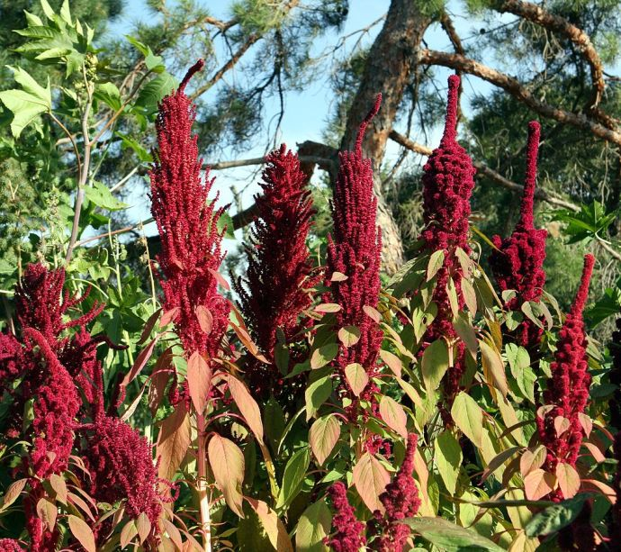 Amaranthus flowers by hardyplants wiki Cfree