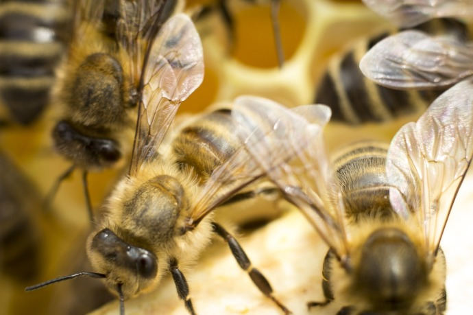 honey bee 831843_1280