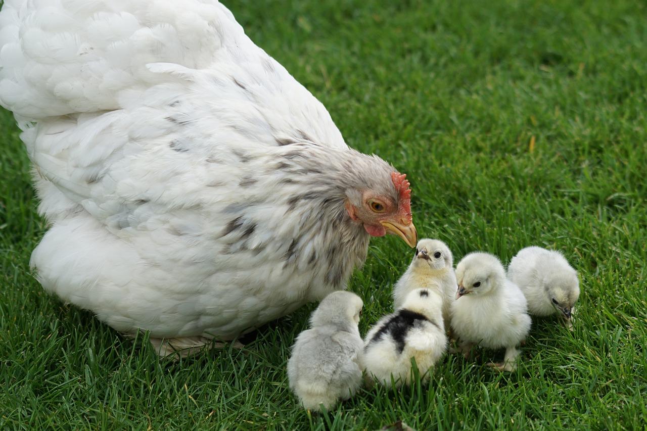 chicken 1415260_1280
