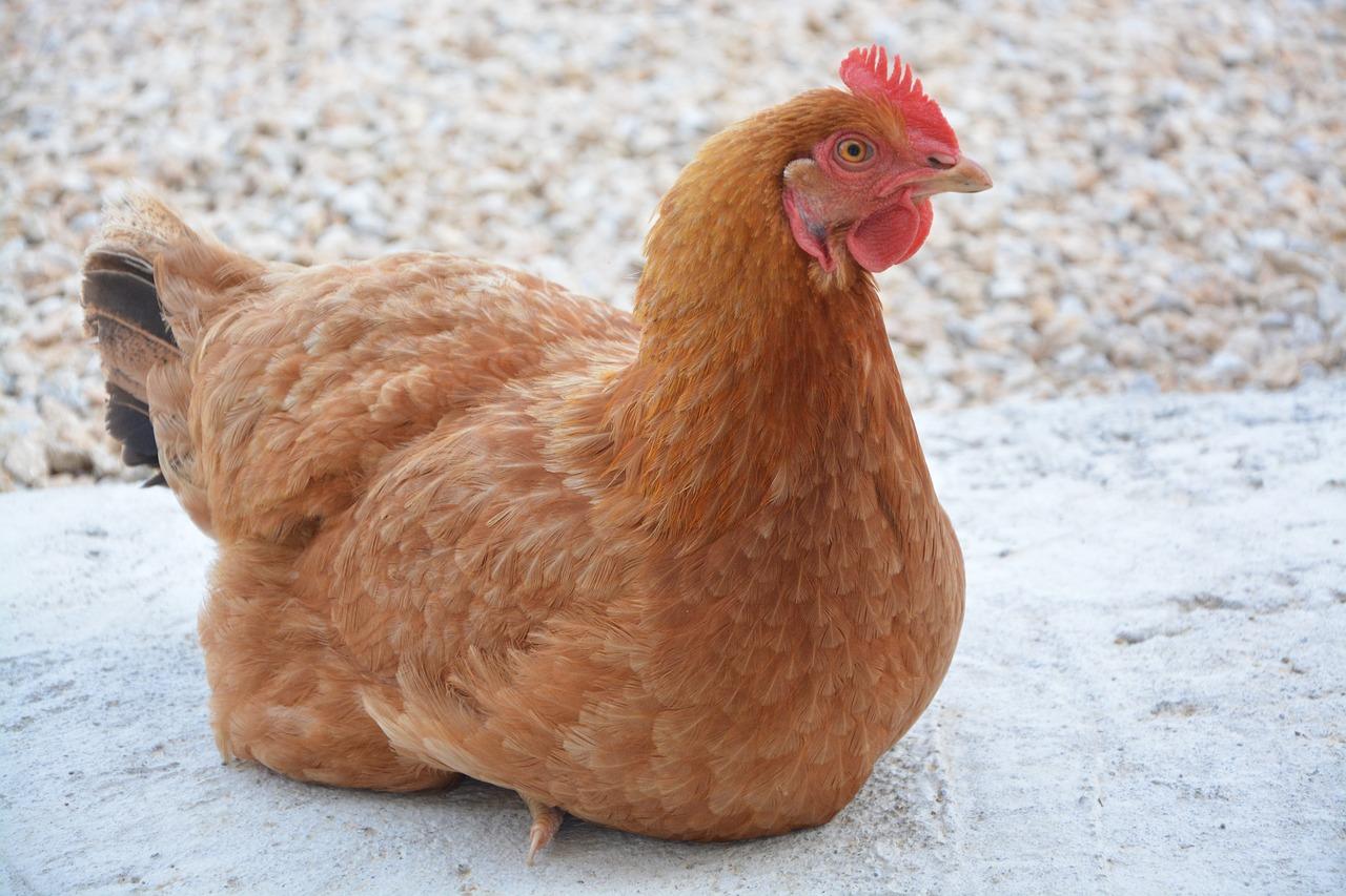 chicken 2678608_1280