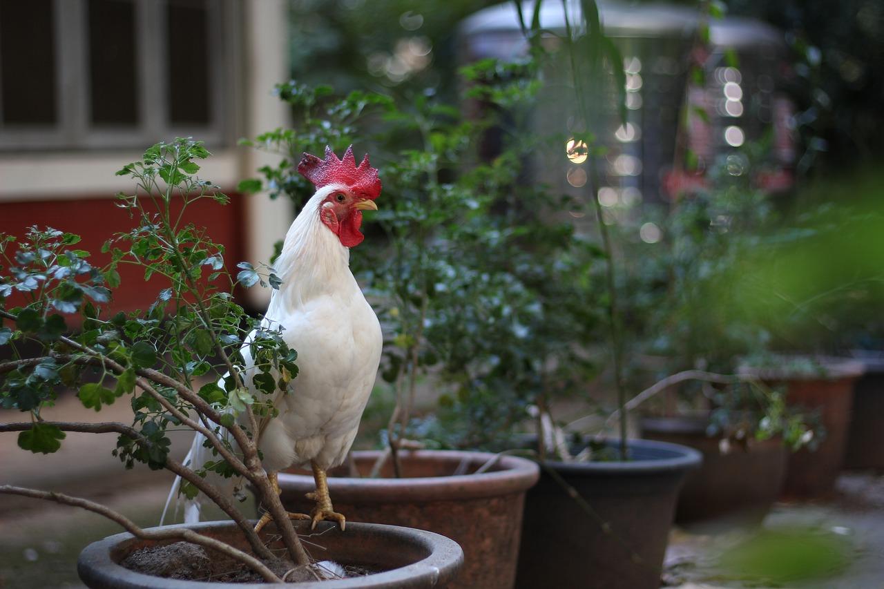 chicken 3104528_1280